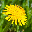 Dandelion flower — Stock Photo #10936863