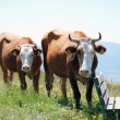 View of two brown cows — Stock Photo