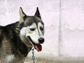 Wolf dog against wall with copyspace — Stock Photo