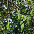 Foto Stock: Plums on tree