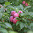 Foto de Stock  : Plums on tree