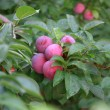 Plums on tree — Foto de Stock