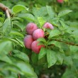 Plums on tree — Stock Photo #12014441