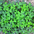 Stock Photo: Three leaf clovers