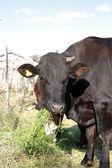 Zwarte koe is voeden door gras en kijken naar de camera — Stockfoto