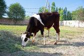 Becerro blanco y negro se alimenta por el pasto — Foto de Stock
