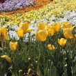 Yellow tulips with colorful flowers - horizontal — Stock Photo