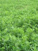 клевер полевой — Стоковое фото