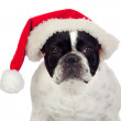 Beautiful french bulldog with christmas hat — Stock Photo #11518556