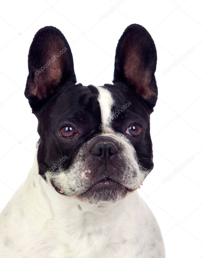 Beautiful french bulldog isolated on white background  Stock Photo #11518509