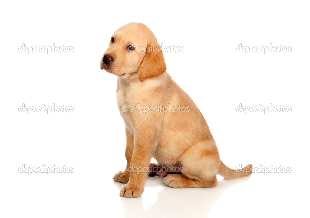 Beautiful Labrador retriever puppy isolated on white background — Stock Photo #11588053