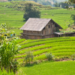 House on Rice Field — Stock Photo