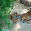 Two Royal Bengal tiger at zoo of Los Angeles — Stock Photo