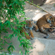 Stock Photo: Two Royal Bengal tiger at zoo of Los Angeles