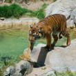 Royal Bengal tiger at zoo of Los Angeles — Stock Photo #11412779