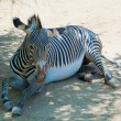 Zebra at Zoo of Los Angeles — Stock Photo #11412880