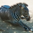 Royalty-Free Stock Photo: Zebra at Zoo of Los Angeles