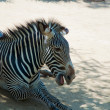 Zebra at Zoo of Los Angeles — Stock Photo #11412887