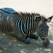 Zebra at Zoo of Los Angeles — Stock Photo #11412888