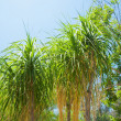 Palm in park of Los angeles — Stock Photo #11412913