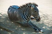 Zebra dello zoo di los angeles — Foto Stock