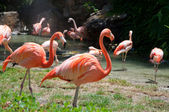 Some flamingos in the water — Stock Photo