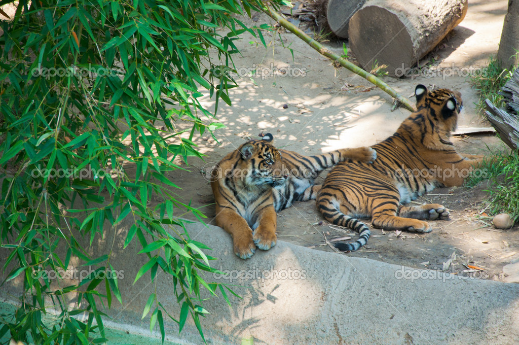 Two Royal Bengal tiger at zoo of Los Angeles. California  Stock Photo #11412741