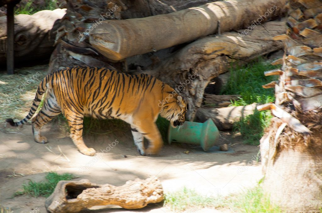 Royal Bengal tiger at zoo of Los Angeles. California — Stock Photo #11412793