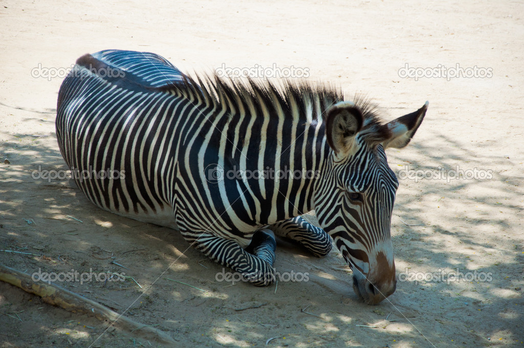 Zebra lies in the shadow at Zoo of Los Angeles — Stock Photo #11412897