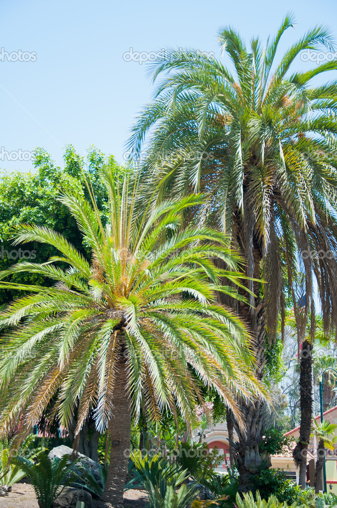 Palm in park of Los Angeles. California — Stock Photo #11413170