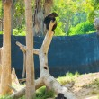 A chimpanzee is hanging on a tree — Stock Photo