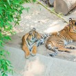 Royal Bengal tiger at zoo of Los Angeles — Stock Photo #11441037