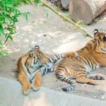Royal Bengal tiger at zoo of Los Angeles — Stock Photo