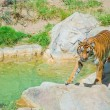 Royal Bengal tiger at zoo of Los Angeles — Stock Photo #11441046