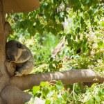 Australian Koala Bear — Stock Photo