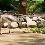 Young grant gazelle bock — Stock Photo
