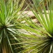 Variegated succulent agave or yucca plant — Stock Photo