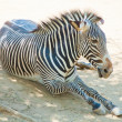 Zebra at Zoo of Los Angeles — Stock Photo #11455362