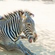 Zebra at Zoo of Los Angeles — Stock Photo #11455399