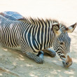 Zebra at Zoo of Los Angeles — Stock Photo