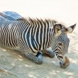 Zebra at Zoo of Los Angeles — Stock Photo #11455646