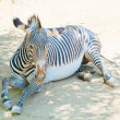 Zebra at Zoo of Los Angeles — Stock Photo #11455733