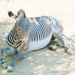 Zebra at Zoo of Los Angeles — Stock Photo