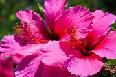 Flor-de-rosa — Foto Stock