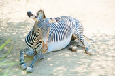 Zebra at Zoo of Los Angeles — ストック写真
