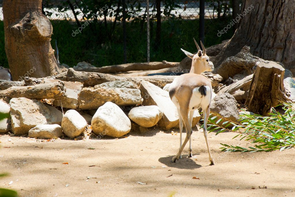 Young grant gazelle bock in natural habitat — Stock Photo #11455068