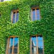 Old house wall with vines — Stock Photo