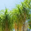 Palm in park of Los angeles — Stock Photo #11514287