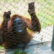 Orangutan — Stock Photo #11514408