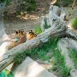 Two Royal Bengal tiger at zoo of Los Angeles — Stok fotoğraf